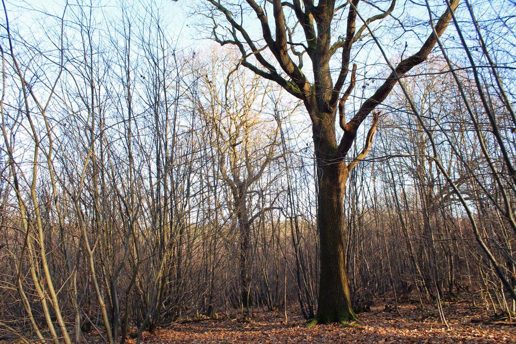 A mature oak standard